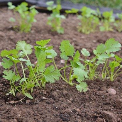 We Grow Cilantro