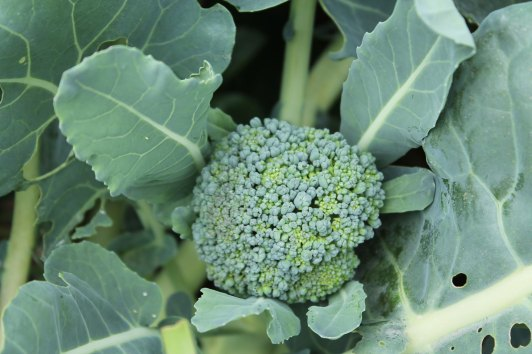 We Grow Bay Meadow Broccoli