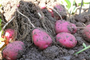 We Grow Red Potatoes