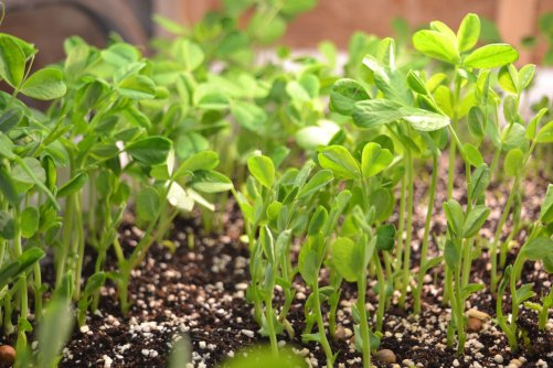 We Grow Pea Shoots