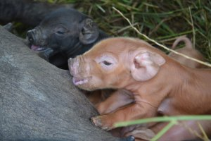 Heritage breed piglets at We Grow LLC