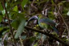Close ecnounters with a Toucanette