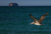 The B52 of the bird world - the `Brown Pelican
