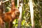 A surprised coconut / baby orangutan