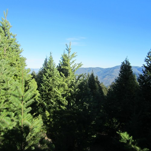 californiachristmas tree farm