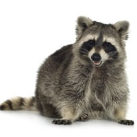 Raccoon The Secret to Smudge Proof Eye Makeup