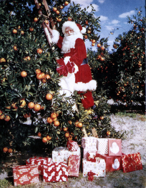 Santa Claus picking oranges 1965