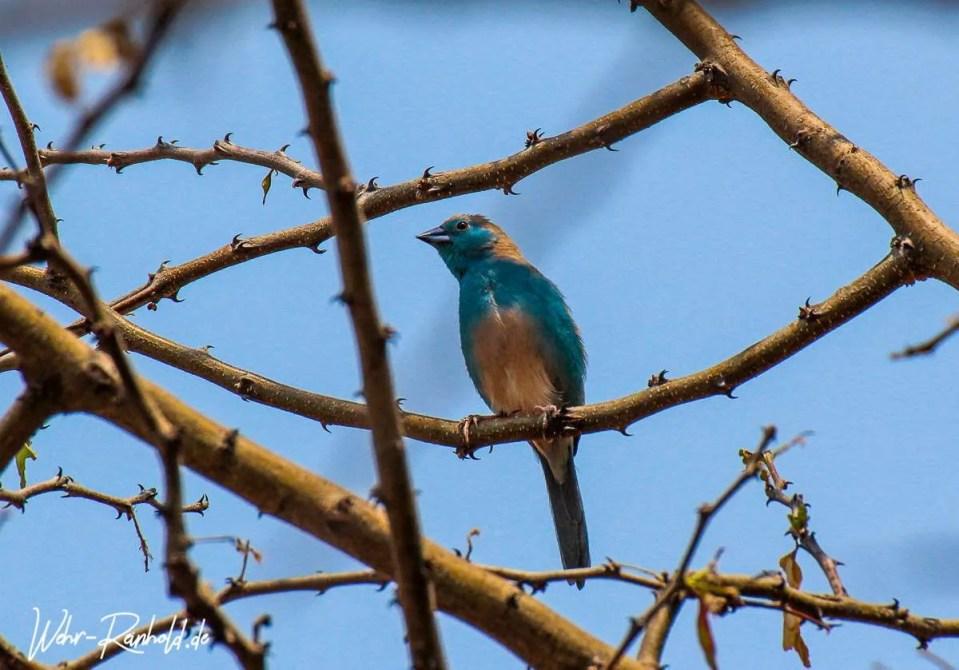 Angola-Schmetterlingsfink (Blue Waxbill)