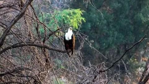 Afrikanischer Fischadler (African Fish Eagle)