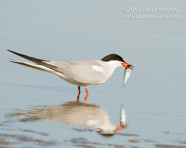 Beta male tern (I'm assuming), doing all the work while the woman sits on her ass eating bon bons back at the nest