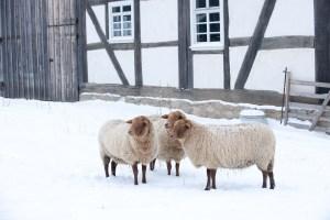 Freuen sich auch im Winter auf zahlreiche Museumsbesucher – die Coburger Fuchsschafe im Freilichtmuseum Hessenpark, Foto: privat