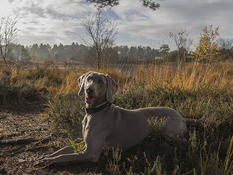 How to Teach Hunting Dog the Down Command