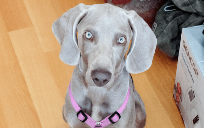 Can Weimaraners Live In An Apartment Weimaraner Planet