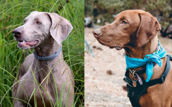 Which Dog Breed Is Similar To A Weimaraner Planet
