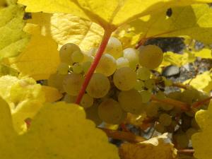 Weingut Lauterbach Traubenlese