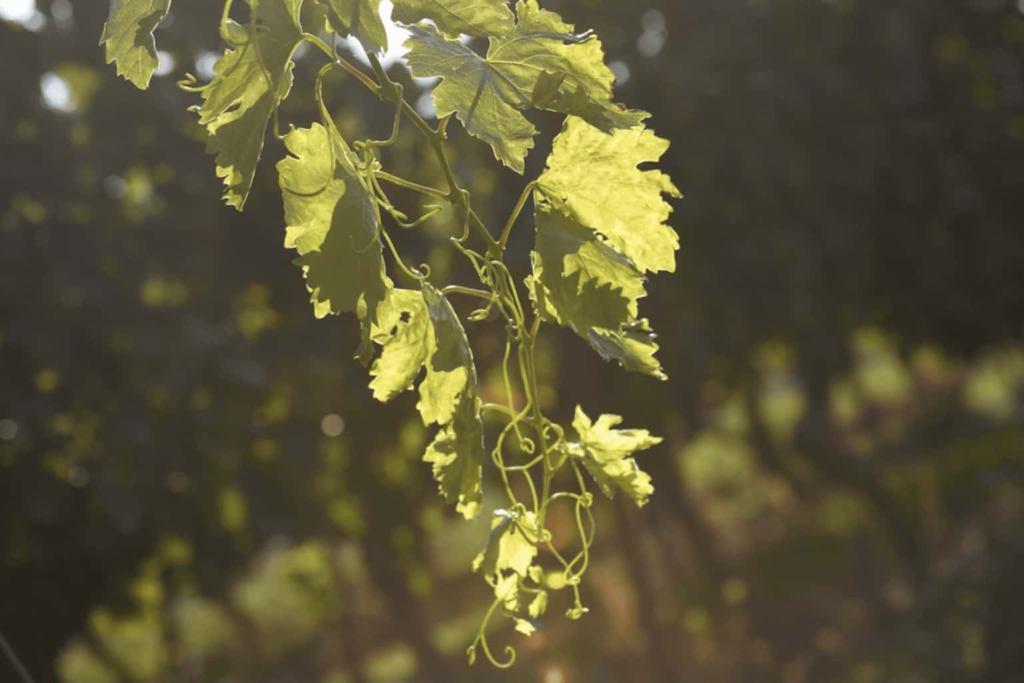 Reben in einem Weinberg vom Weingut Russbach