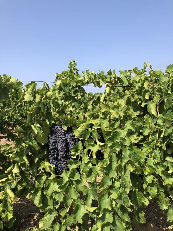 Weintrauben vom Weingut Spadafora in Sizilien