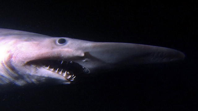 Weirdass Animals: The Goblin Shark looks like a thing of nightmares