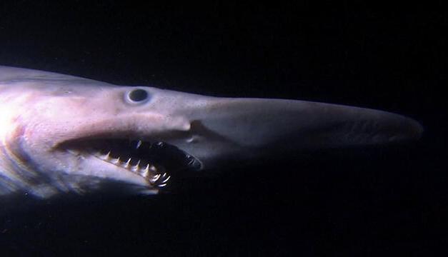 Goblin Shark Toys : Weird facts news games film animals toys geek