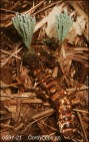 Cordyceps Sp. (China)