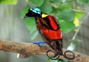 Wilson's_Bird_of_Paradise_Best