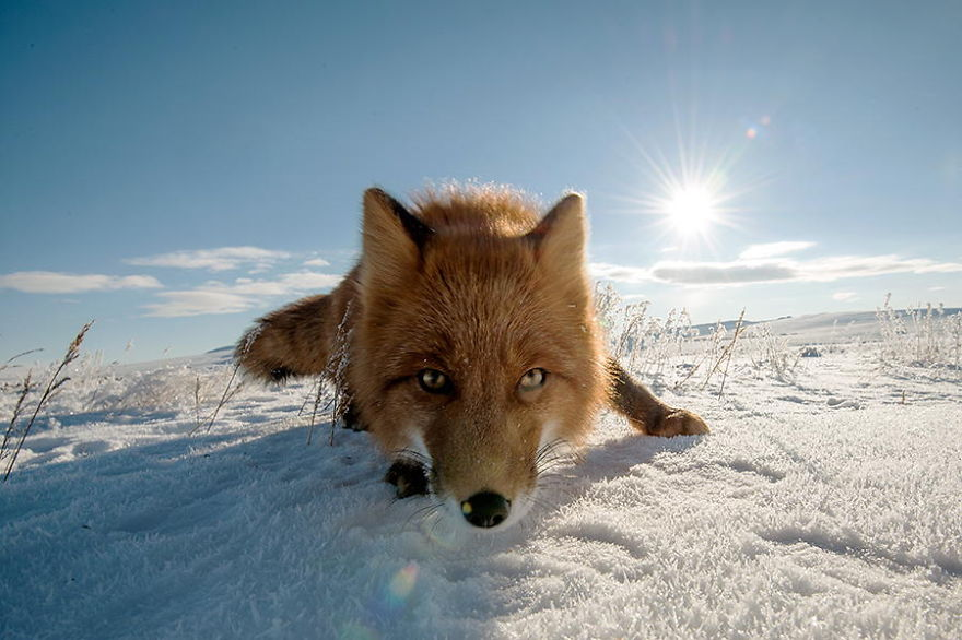 foxes14