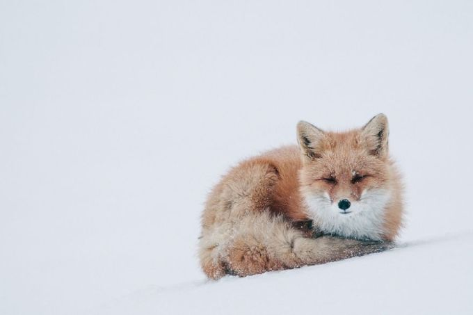 foxes18