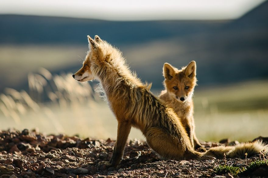 foxes27