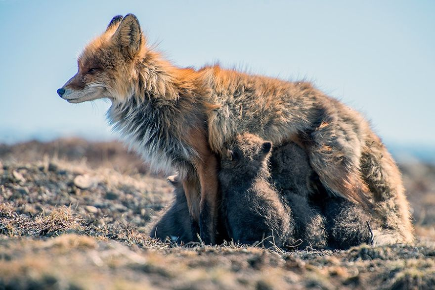 foxes28