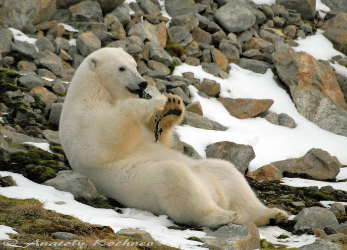 Polar bear playing with his toy