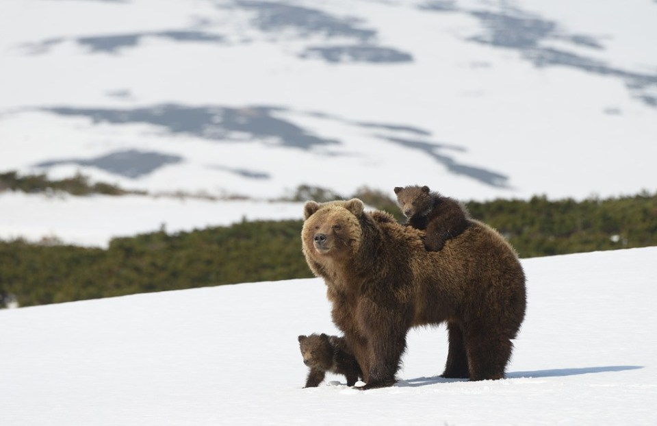 bears_kamchatka4