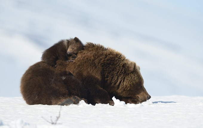 bears_kamchatka5