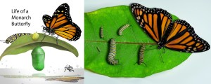 [Monarch Life Cycle]