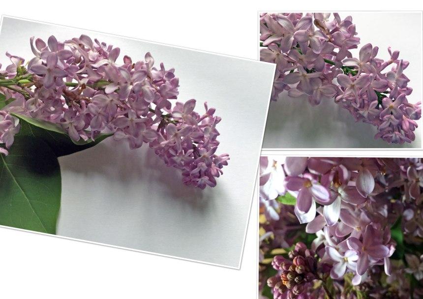 flieder-collage.jpg