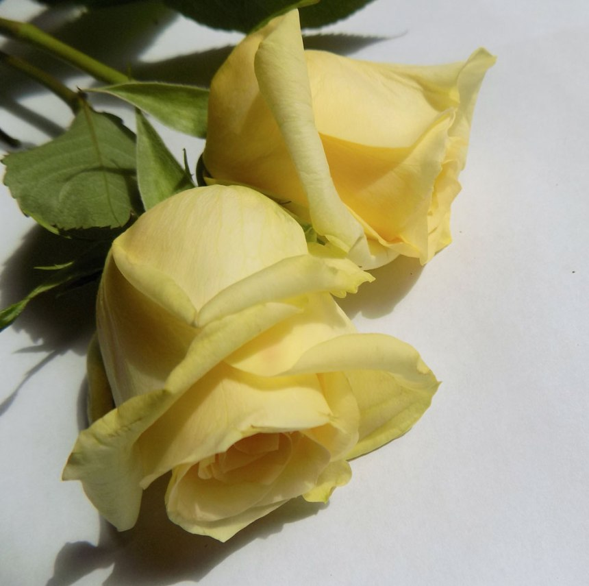 rosen-gelb7