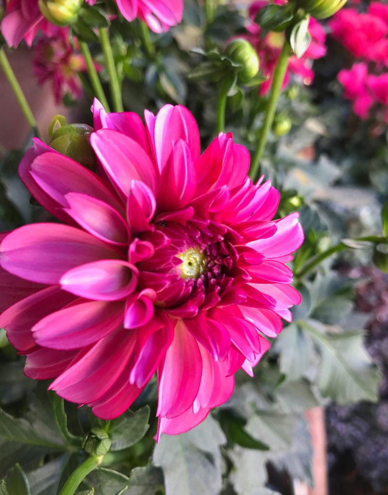 dahlie-pink.jpg