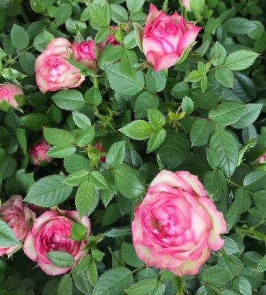 garten-rose3