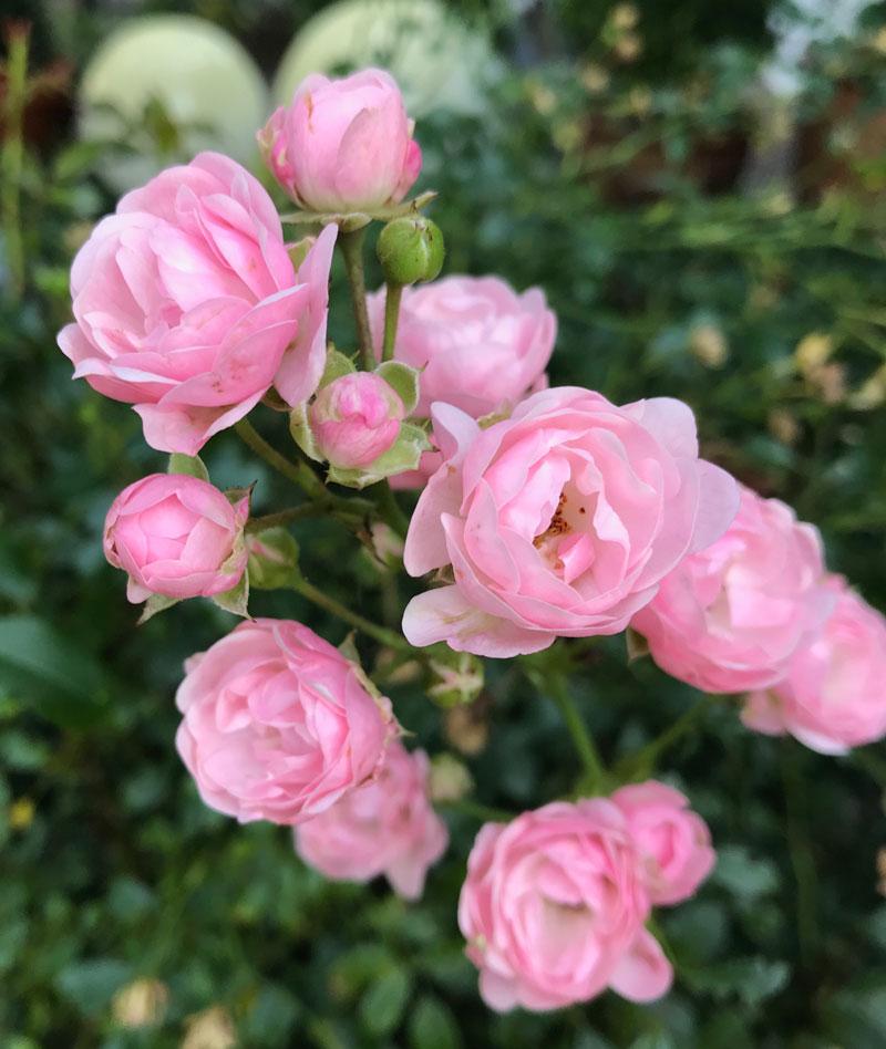 garten-rose99
