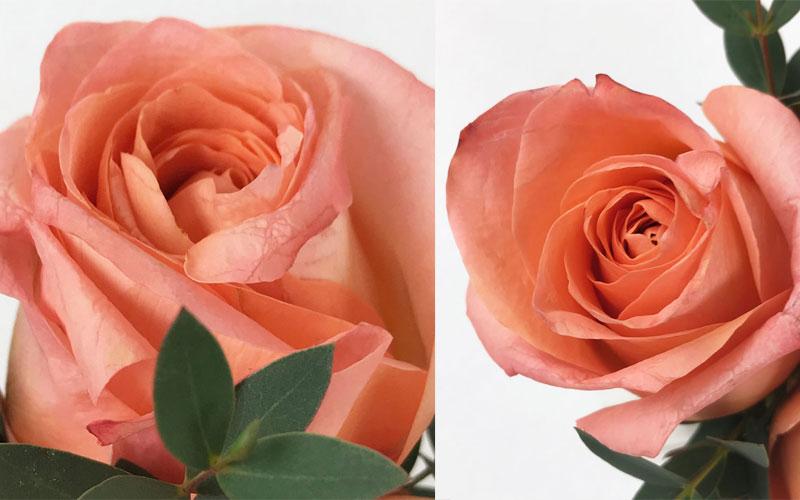 rose-coll3.jpg