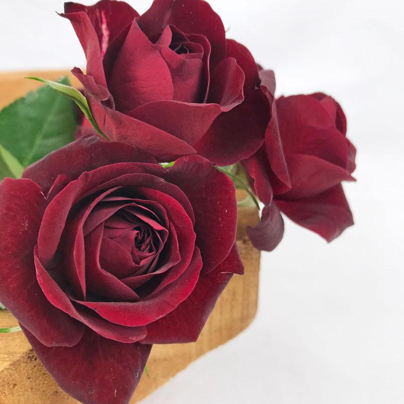 rot-rose12.jpg