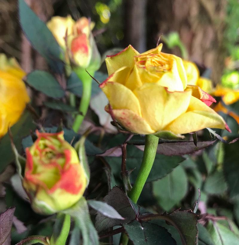 gelb-rose7.jpg