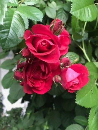 rose18.jpg