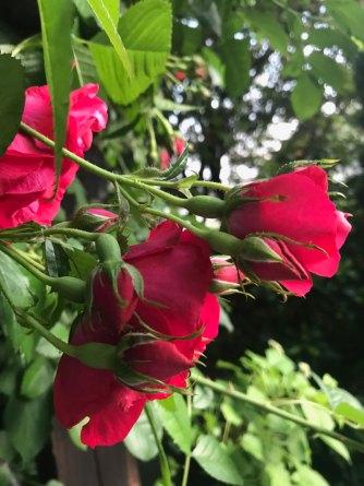 rose22.jpg