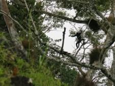 Brüllaffen in Tikal