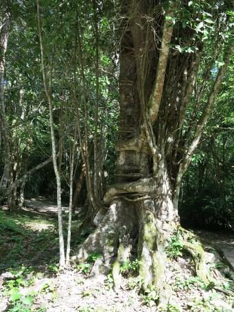 """""""loving trees"""" - ein Baum umklammert den anderen so fest bis dieser abstirbt und beide umkippen. Hach ..."""