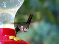 Ein Kolibri an einer Zucker-Wasserstelle