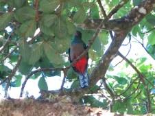 Ein weiblicher Quetzal, die Männchen sind viel imposanter