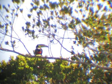 Unser einziges Bild eines Tucan – leider durch ein Teleskop fotografiert