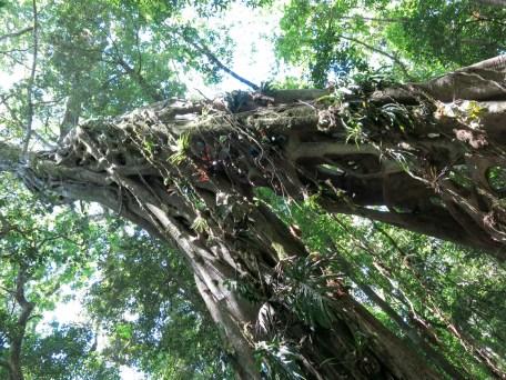 strangler_tree_01