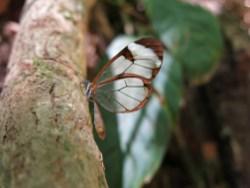 Ein Schmetterling mit transparenten Flügeln
